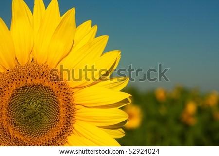 Sunflower detail - stock photo