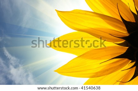 Sunflower detail isolated on white background - stock photo