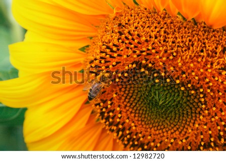 Sunflower detail with the rorking bee - stock photo