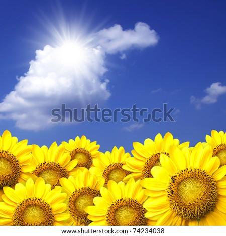 sunflower details on blue sky background. - stock photo