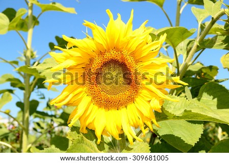 sunflower, direction of the sun.