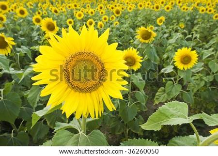 Sunflower Farm Field (Helianthus annuus) - stock photo