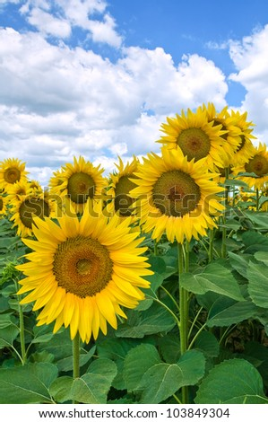 stock-photo-sunflower-field-103849304.jp