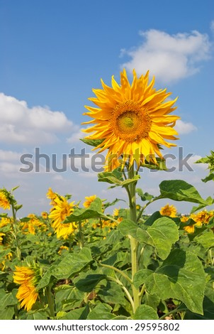 Sunflower field a beautiful day