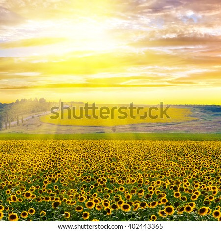 Sunflower field against a dramatic sky at sunset - stock photo