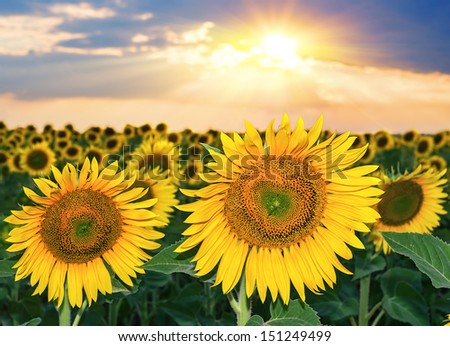 Sunflower field against a dramatic sunset - stock photo