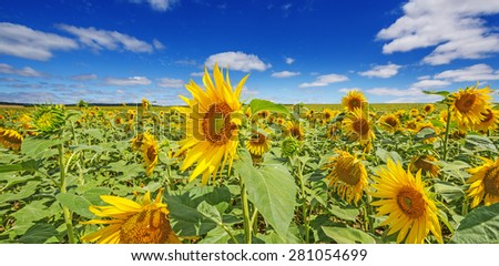 sunflower field and blue sky with clouds - stock photo