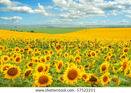 Sunflower field and cloudy blue sky - stock photo
