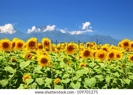 Sunflower field and mountain in summer, Japan - stock photo