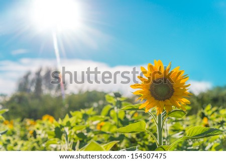 Sunflower field  (Annapolis Valley, Nova Scotia, Canada)