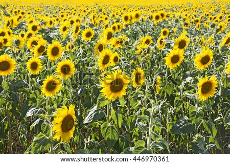 Sunflower field as floral background - stock photo