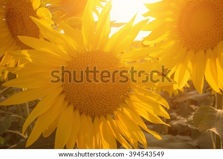 Sunflower field at sunset - stock photo
