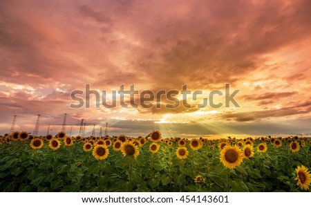 Sunflower field at sunset and dramatic sky - stock photo