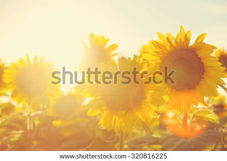 Sunflower field at sunset. Filtered Instagram effect. - stock photo
