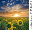 sunflower field at the morning - stock photo