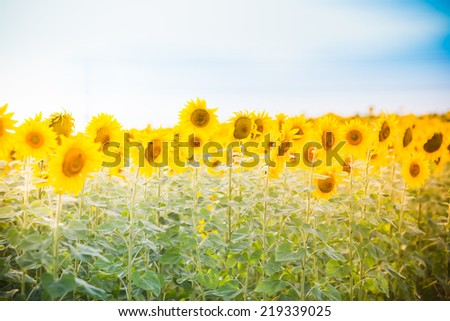 Sunflower field at the sunset - stock photo
