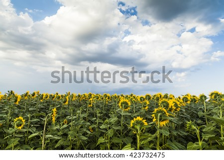 Sunflower field before storm Sunflower Sunflower Sunflower Sunflower Sunflower Sunflower Sunflower Sunflower Sunflower Sunflower Sunflower Sunflower Sunflower Sunflower Sunflower Sunflower Sunflower  - stock photo