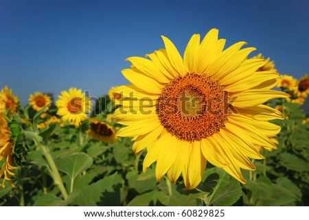 Sunflower field can be used for good background - stock photo