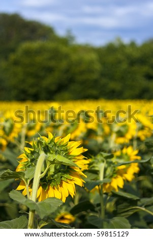 Sunflower field from behind with trees and blue sky - stock photo