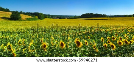 Sunflower field in France - stock photo