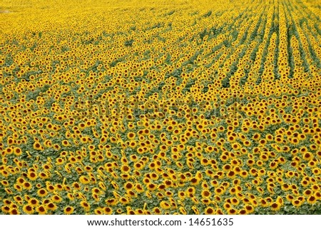 Sunflower field in Italy - stock photo