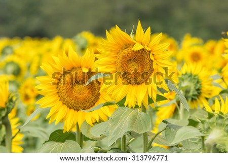 Sunflower field in Kansas. - stock photo