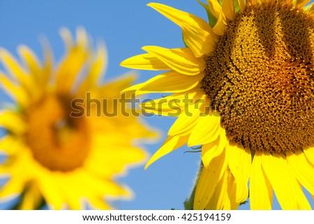 Sunflower field in summer - stock photo