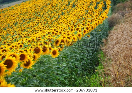 Sunflower field in sunshine - stock photo