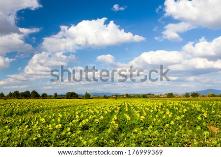Sunflower field in Tuscany, Italy - stock photo
