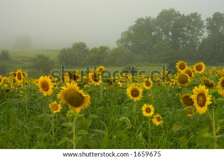 Sunflower field on a foggy morning - stock photo