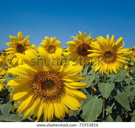 Sunflower field On the bright sky day