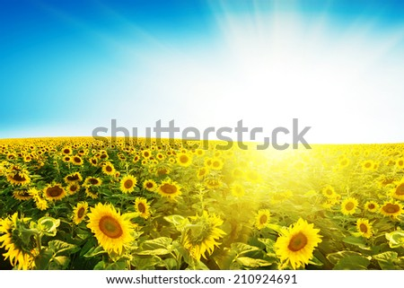 Sunflower field over blue sky  - stock photo