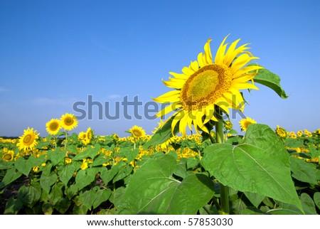 sunflower field over blue sky - stock photo