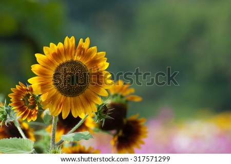 sunflower field over cloudy  and bright sun lights  pink - stock photo