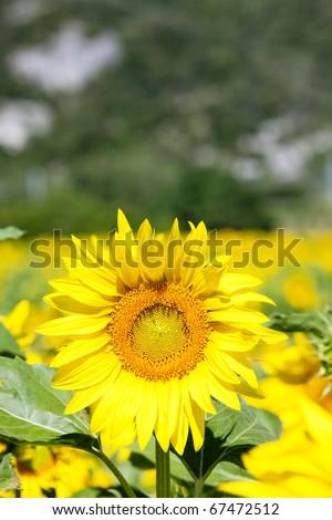 sunflower field, Rhone-Alpes, France - stock photo