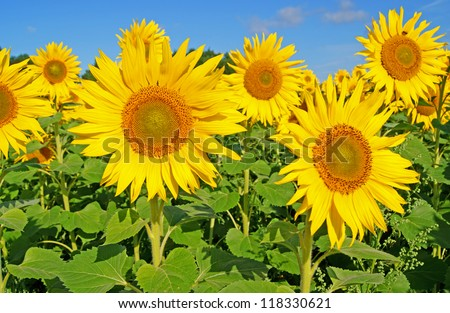 sunflower field / sunflower - stock photo