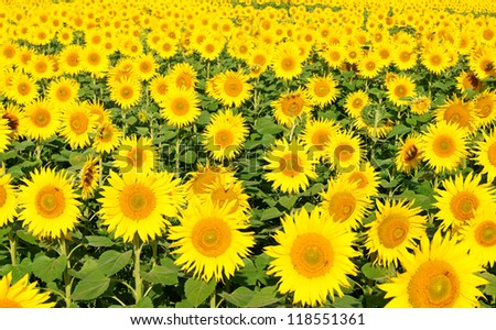 sunflower field / sunflower