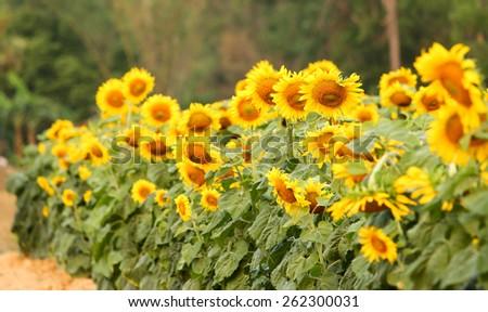 Sunflower field Sunflower  on field. - stock photo