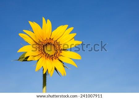 Sunflower field under blue sky - stock photo