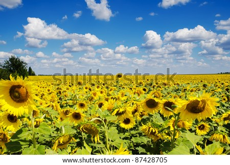 sunflower field under cloudy sky - stock photo