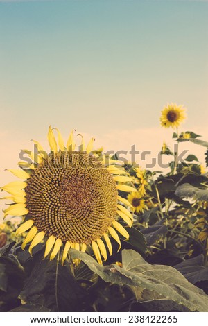 sunflower field vintage - stock photo