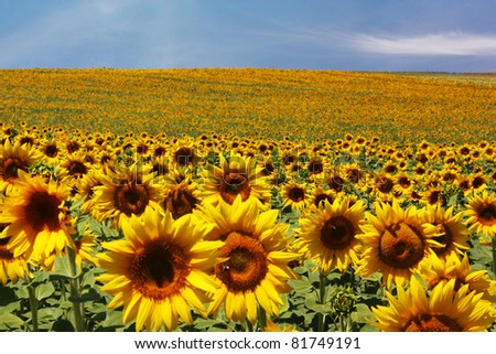 Sunflower field with a blue sky - stock photo
