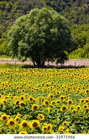 sunflower field with a tree, Provence, France - stock photo