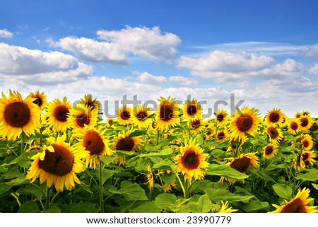 Sunflower field with blue sky - stock photo