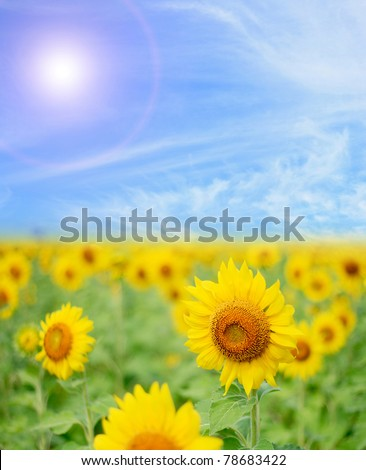 Sunflower Field with perfect sunny blue sky - stock photo