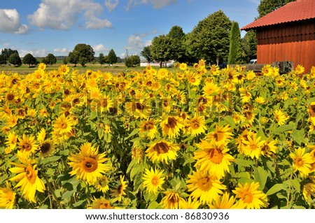 Sunflower Field with red hut - stock photo