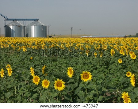 Sunflower field with storage - stock photo