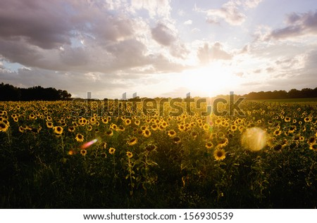 Sunflower field with stormy weather - stock photo
