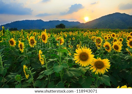 Sunflower field with sunset - stock photo