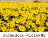 sunflower field, Zamora Province, Castile and Leon, Spain - stock photo